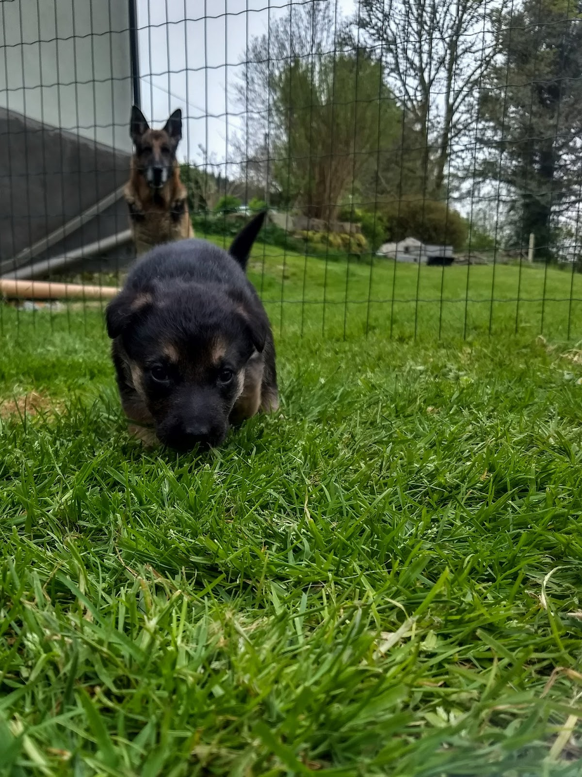 Month old German Shepherd puppy running towards the camera with dad in the background watching.