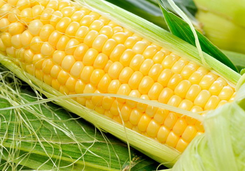 Tinuku Researchers modified corn genes to produce methionine