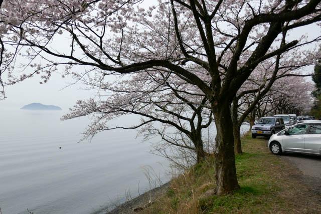 海津大崎の桜と竹生島