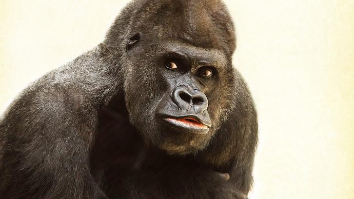 Wallpaper: Beautiful Gorilla Portrait