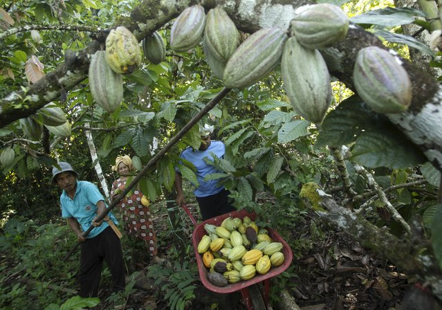 Cocoa Farming Business