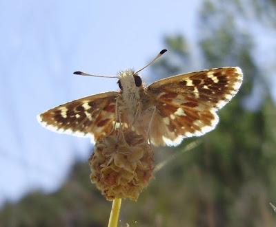 Reverso alar de Spialia sertorius