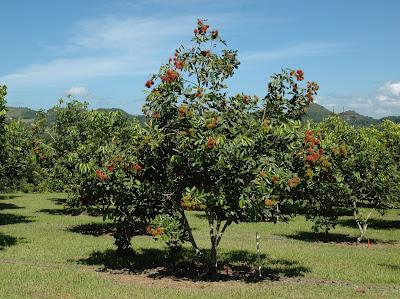 Albero Rambutan