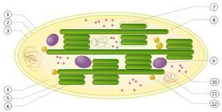 Struktur kloroplas pada tumbuhan berfungsi untuk fotosintesis