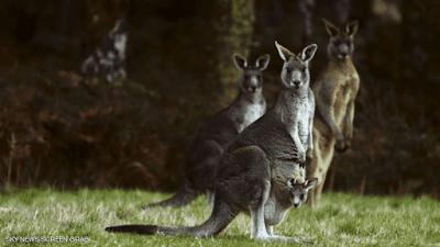 """في أستراليا.. قتل الحيوان الوطني """"هو الحل"""""""