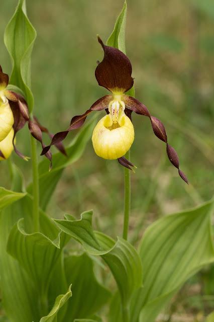 Lady's Slipper Orchid - Gait Barrows, Cumbria