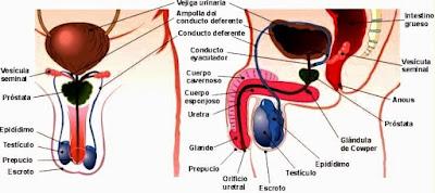 Imagen del Aparato Reproductor masculino señalando partes (frontal y lateral) a color