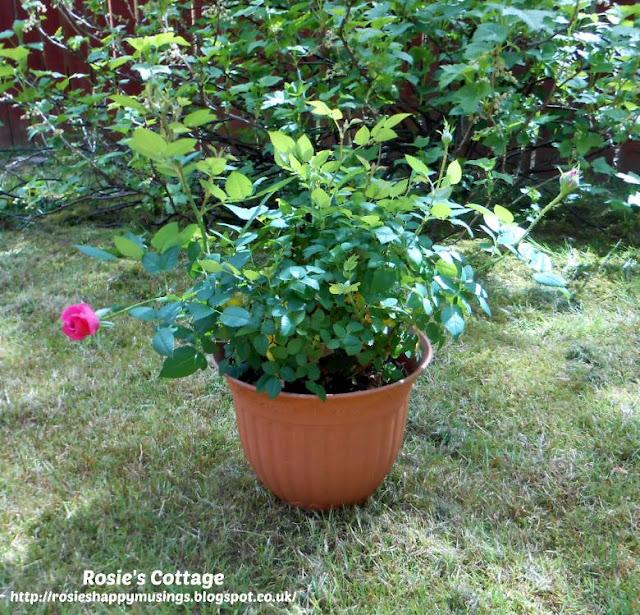 Miniature Roses Flourishing In The Sunshine