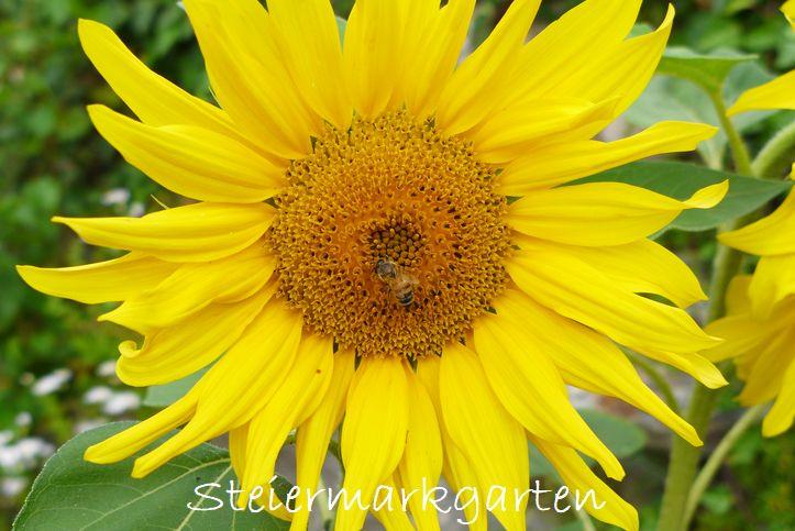 Sonnenblume-Steiermarkgarten
