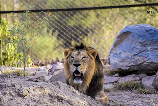 Rajasthan's first lion safari inaugurated at Nahargarh Biological Park