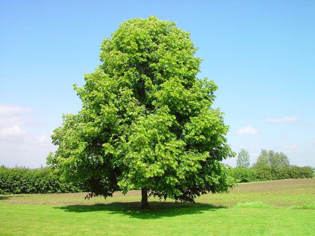 Badan: açık alanda dikim ve bakım, yetiştirme ve üreme