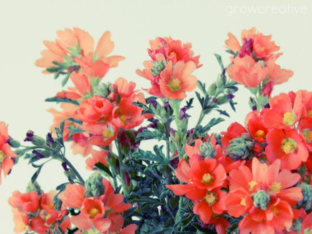 orange globemallow wildflowers: grow creative blog