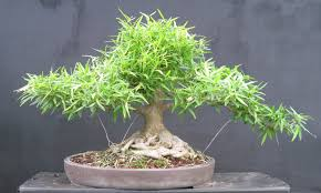 How To Care Willow Leaf Ficus Bonsai
