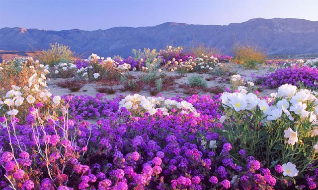 Ajaib, Gurun Gersang ini Dipenuhi Bunga Setelah Hujan Turun