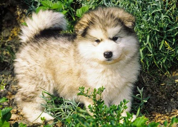 Các bệnh thường gặp ở chó alaska