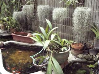 White Beard Plant