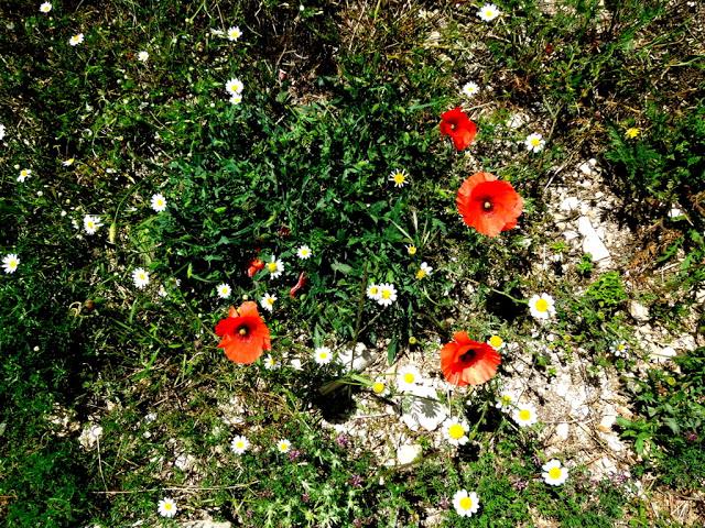 erba papaveri margherite fiori terra all'aperto