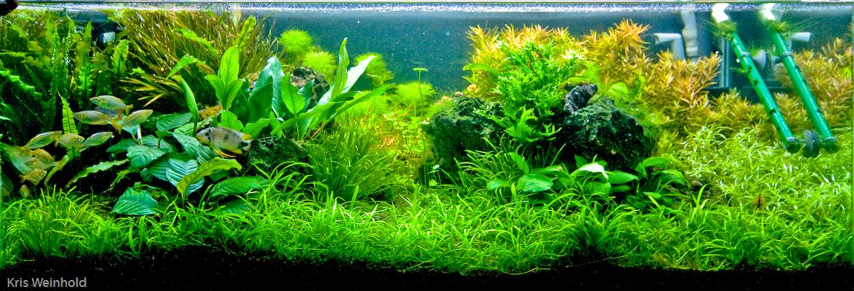 hồ thủy sinh trồng cây hoàng thái dương hậu cảnh