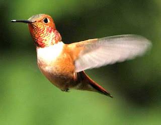 kolibri madu www.burung45.blogspot.com