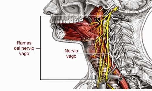 Neuroaprende par craneal x nervio vago for Cuarto par craneal