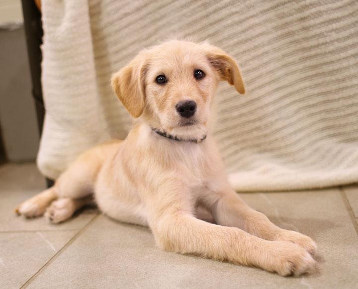 yellow lab mix puppies - photo #1