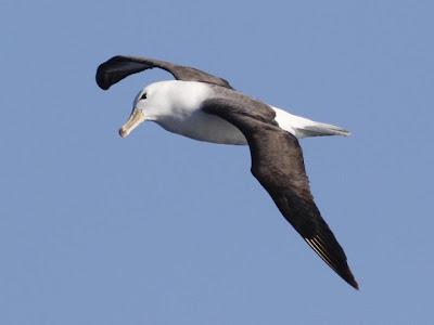 Albatros ceja negra Thalassarche melanophris