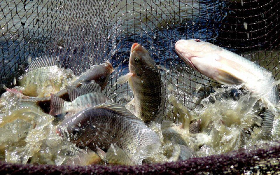 Budidaya Ikan Nila di Pekarangan