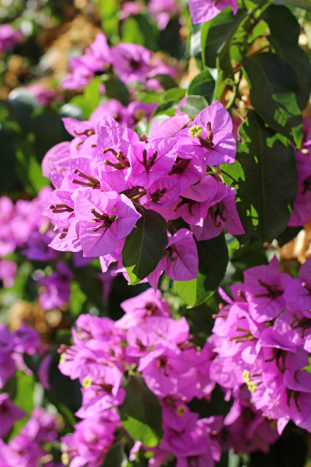 Pink bougainvillea, Rome - style & travel blog