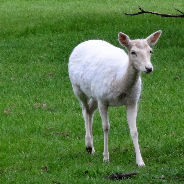 Albino deer in zoo