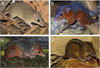 Roedores, novas espécies de mamíferos, Mata Atlântica, Amazônia, novas espécies de ratos, cientistas descobrem novas espécies