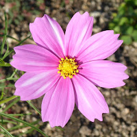 花博記念公園鶴見緑地 ピンク色のコスモス