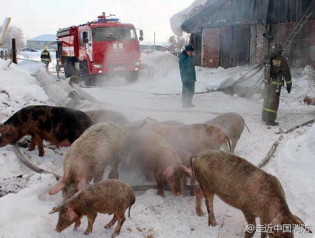 Russian firefighters really saved a farmer's bacon when they rescued 150 pigs
