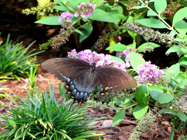 Swallowtail butterfly with torn wing on butterfly bush