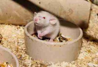tikus Putih