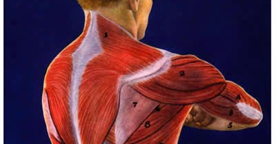 telcel2u shoulder muscles divided into anterior front