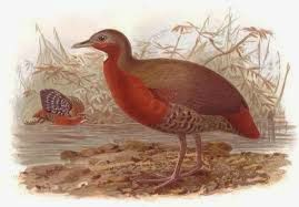 Madagascar wood Rail