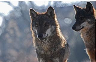 Imagen que muestra dos lobos captados por el equipo de Félix Rodríguez de la Fuente