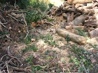 伐採された庭木の処理後