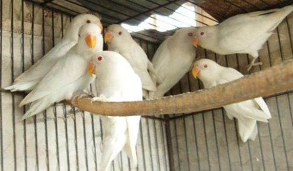 Harga Lovebird Albino Mata Merah 2019