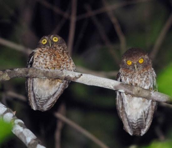 Sulawesi Tengah oleh Bram Demeulemeester Mengenal Burung Tunggok Togian