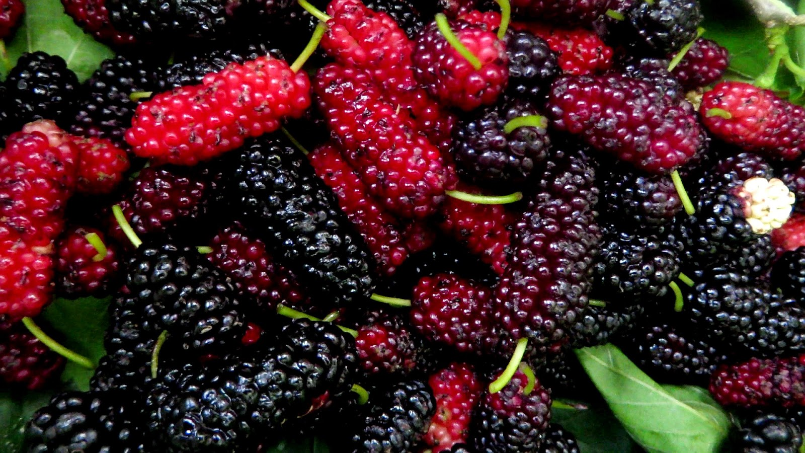 Mulberry Fruit Images Wallpaper Hd