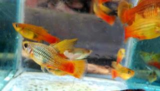 Harga terbaru ikan platy cendrawasih