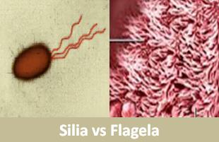 Memahami Perbedaan Silia dan Flagela