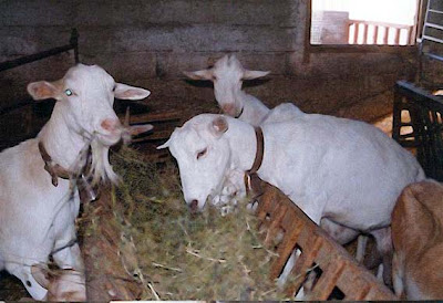 Agricultura, Ganadería, olivares, Beceite, cabras, blancas 2
