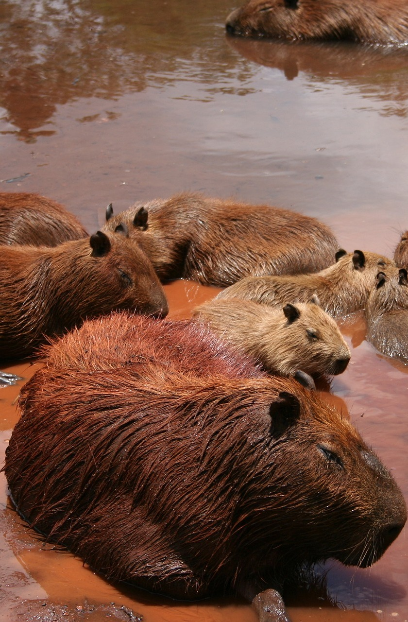 Capybaras living near water.
