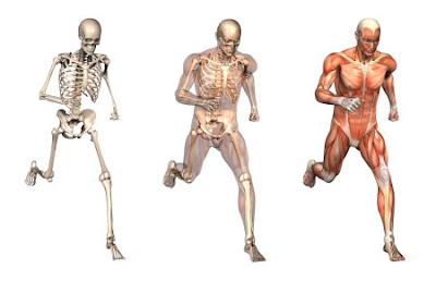 Sistem Gerak Manusia: Struktur dan Fungsinya