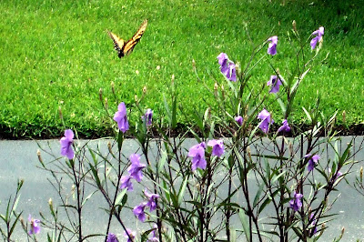 Monarch Butterfly on Mexican Petunias