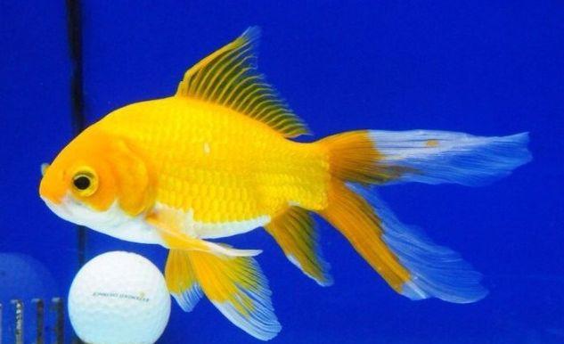 Jenis Ikan Komet Yellow