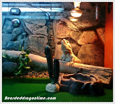 Bearded dragon lighting