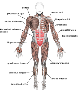 How Do Muscular And Nervous System Work Together 38
